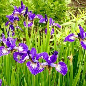 ブッチャートガーデンの花6