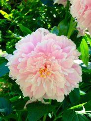 ブッチャートガーデンの花1